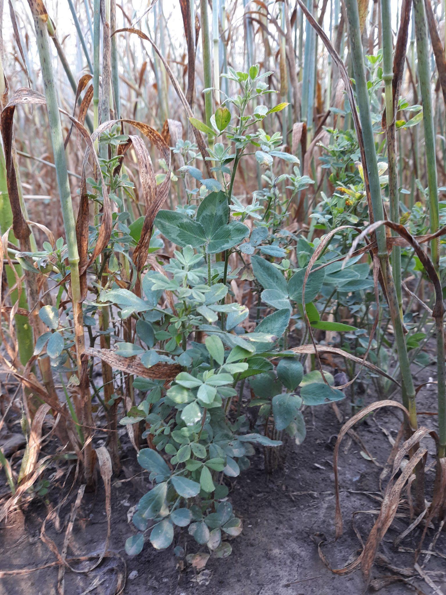 Alfalfa and clover